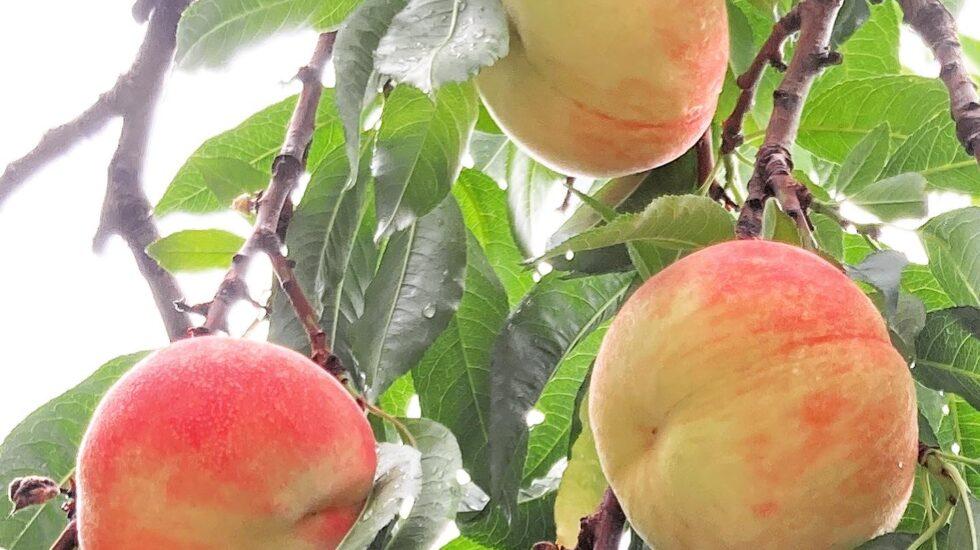 石垣農園桃の木