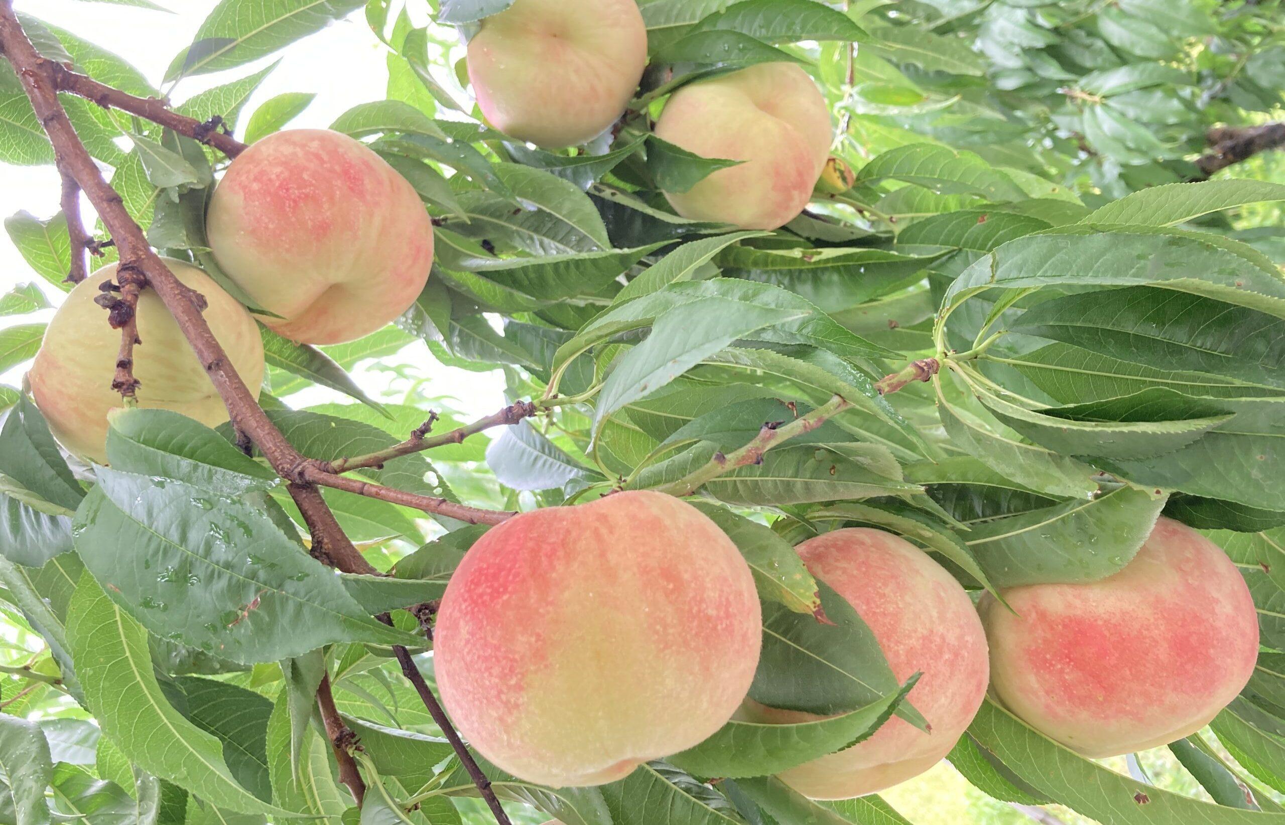 石垣農園桃